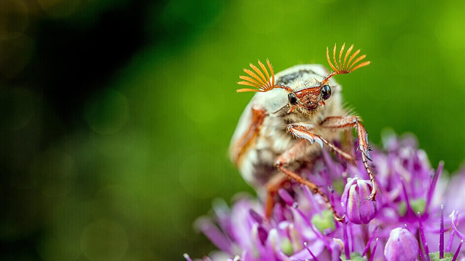 Ein niedlicher Maikäfer sitzt auf einer Blume und guckt in die Kamera